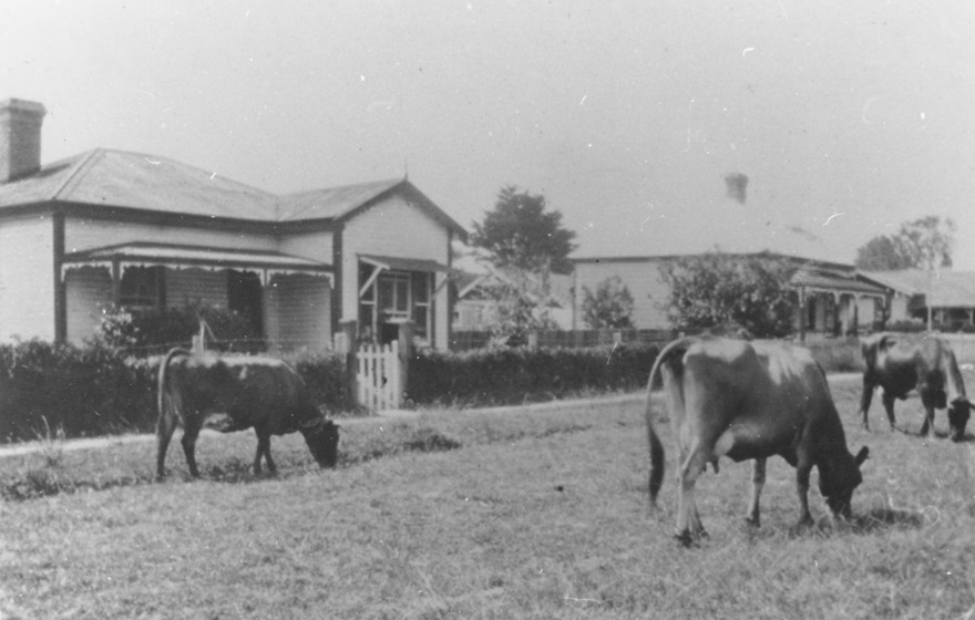 Cows on Cameron Road